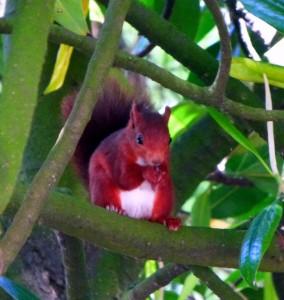 Ardilla roja